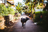 A cow stands in the middle of a small village road in Goa, India.