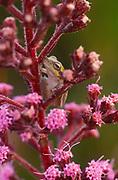 Pinewoods treefrog on Carphephorus paniculatus, Hyla femoralis, Myakka River State Park, Florida