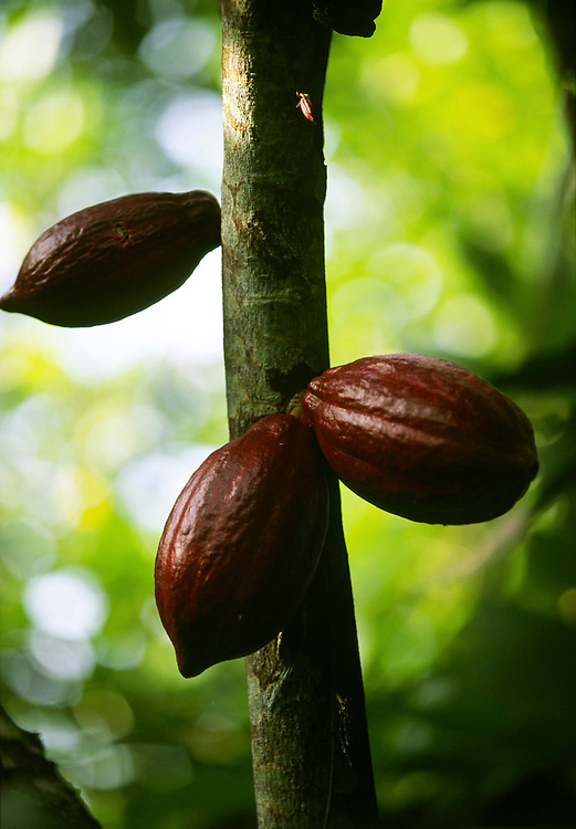 Cocoa fruit. Cocoa production is the main export from Sao Tome and Principe and is for centuries where economy concentrates.
