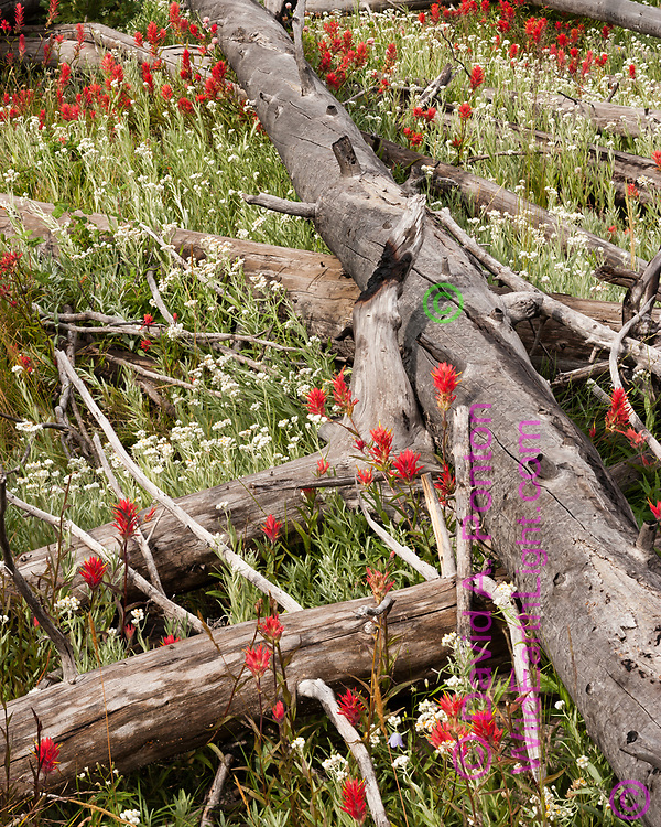Wildflowers grow prolifically among logs from fire killed trees 17 years after the extensive 1988 wildfires in Yellowstone National Park, © 2005 David A. Ponton