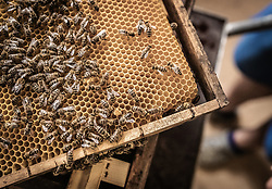 THEMENBILD - das Bienenvolk arbeitet auf einem Wabenbereich des Bienestocks, aufgenommen am 12. Juni 2019, Piesendorf, Österreich // the bee colony works on a honeycomb area of the beehive on 2019/06/12, Piesendorf, Austria. EXPA Pictures © 2019, PhotoCredit: EXPA/ Stefanie Oberhauser