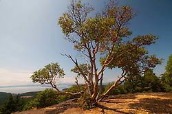 Madrona Tree (Arbutus menziesii) on Young Hill, San Juan Island, Washington, US