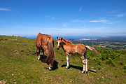 Pottok or Pottoka - endangers semi-feral ponies in the Basque Pyrenees, France, near the Col d'Ibardin and <br /> Le Lac de Xoldokogaina ou d'Ibardin<br /> .