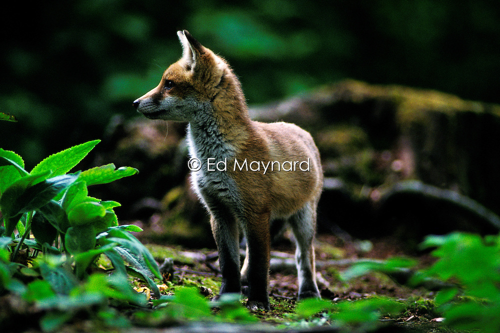 Red fox (vulpes vulpes), standing and alert, in a woodland clearing, Leicestershire, England, UK.
