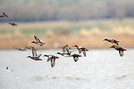 Variety of Teal and other ducks in flight