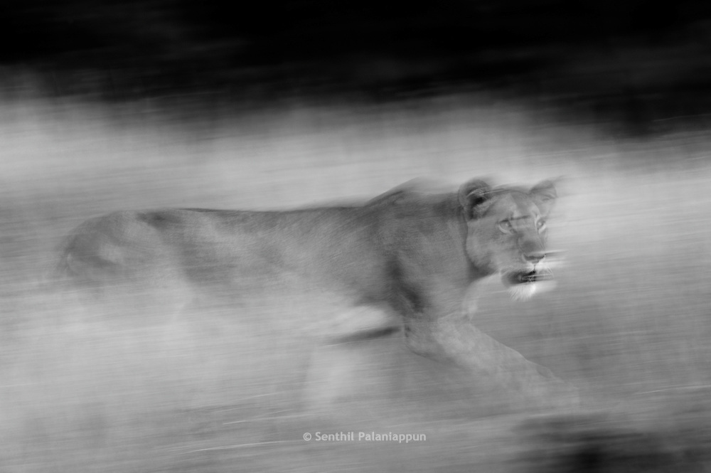 Lioness (Panthera leo) walking in tall grass, Masai Mara, Kenya