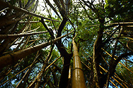 Low angle view looking up a cluster of bamboo trees to the rainforest canopy near Punta Rio Claro National Wildlife Refuge, Costa Rica.