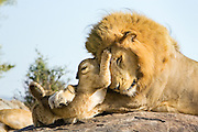 Lion<br /> Panthera leo<br /> 7-8  week old cub(s) playing with adult male<br /> Masai Mara Reserve, Kenya