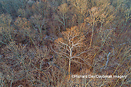 63877-01507 Aerial view of lone Sycamore tree in winter woods Marion Co. IL