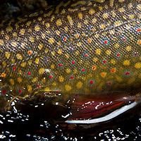 A Detail of a brook trout.