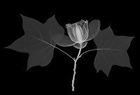 X-ray image of a tulip tree (Liriodendron tulipifera, white on black) by Jim Wehtje, specialist in x-ray art and design images.