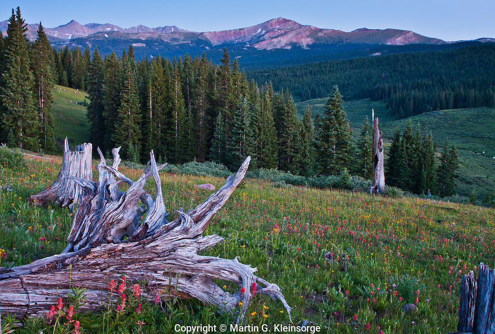 Scarlet Paint Brush, sneezeweed and a old tree stump on Shrine Pass.  Colorado.