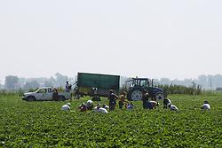 AGRICOLUTURA OPERAI DITTA SALVI VIVAI AL LAVORO IN UN VIVAIO DI FRAGOLE A POMPOSA