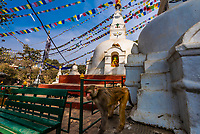 A macaque monkeyat the Swayambhunath Stupa. The temple sits atop a hill west of Kathmandu, Nepal.