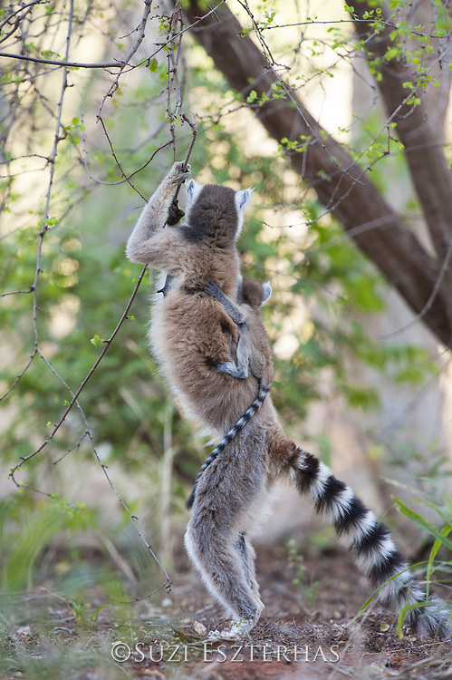 Ring-tailed Lemur<br /> Lemur catta<br /> Female with two-week-old baby on back standing upright<br /> Berenty Private Reserve, Madagascar
