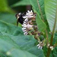A large Bumblebee (Bombus) feeds on the flower of Common milkweed (Asclepias syriaca)