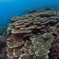 Hard Coral coverage, Tenggol Island, Tanjong Jara Resort, Terengganu, Malaysia.