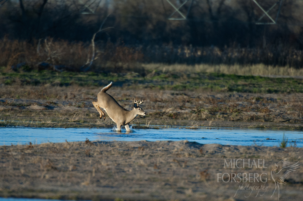Platte River valley, Nebraska<br /> <br /> Audubon Rowe Sanctuary<br /> <br /> White-tailed deer buck running across river channel after gunshot in early evening.