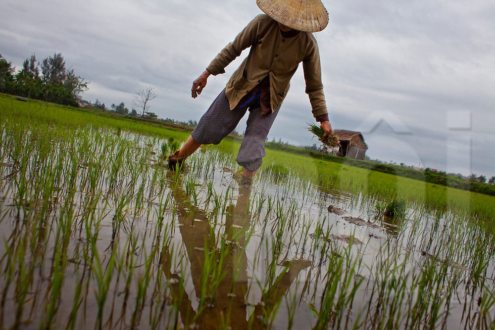 A woman is planting rice in a field on a cloudy day near Hoi An, Vietnam, Asia