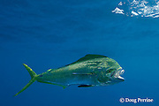 dorado, mahi mahi, or dolphin fish, Coryphaena hippurus, eats bait fish, off Isla Mujeres, near Cancun, Yucatan Peninsula, Mexico ( Caribbean Sea )