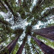 Redwoods forest with fisheye lens looking up along the Avenue of the Giants in Humboldt County, California.