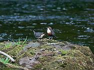 Dipper And Juvenile on River Kent