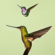 Male Woodstar (above) and Sword-billed Hummingbird