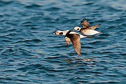 Long-tailed Duck, Clangula hyemalis, male & female, Lake Ontario, Ontario, Canada