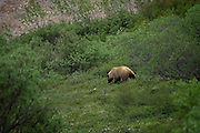 Grizzly Bear, Denali National Park, Alaska. This is as close as I got to any bears, alas. And this was at 400mm, hanging out the side of a green bus! ....The grizzlies live out on the open tundra - unlike the more unobtrusive black bears, which live in the forest