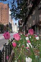 Tulips on State Street in the South Loop, Chicago, Illinois