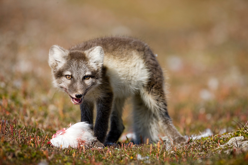 Norway, Svalbard, Edgeoya Island, Arctic Fox (Vulpes lagopus) kit feeding on Kittiwake kill on tundra along Diskobukta