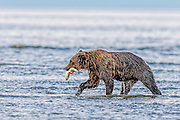 Coastal brown Bear with a Salmon