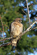 Juvenile Sharp-shinned hawk perched in habitat
