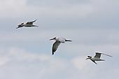 Caspian Tern Pictures - Photos