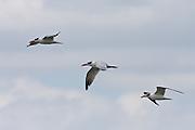 Caspian Tern, (Hydroprogne caspia), New Zealand