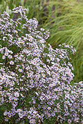 Aster ericoides 'Pink Cloud' AGM