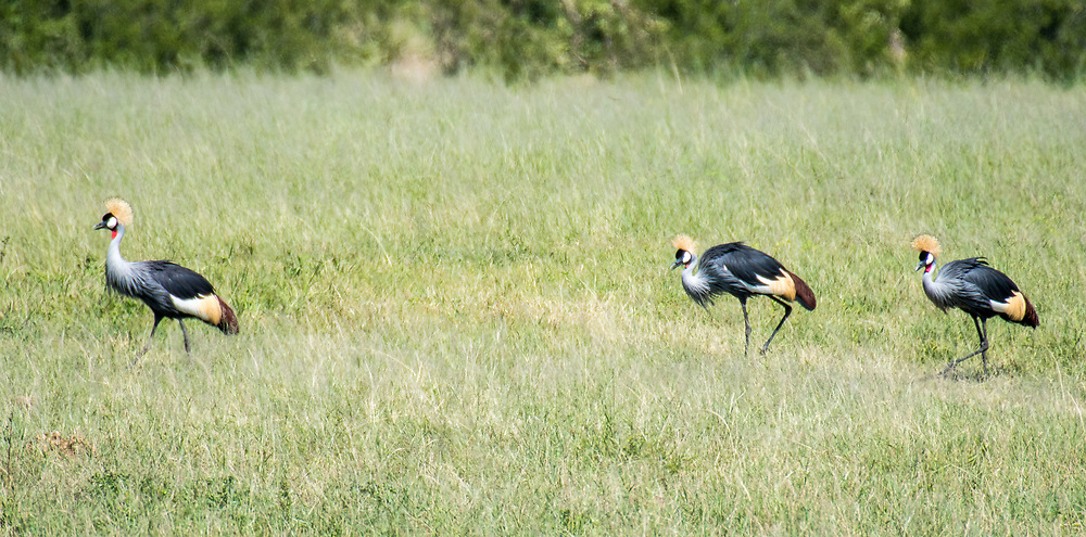 A small group of Grey Crowned cranes move through the grasslands of the savanna in Hwange National Park. Hwange, Zimbabwe