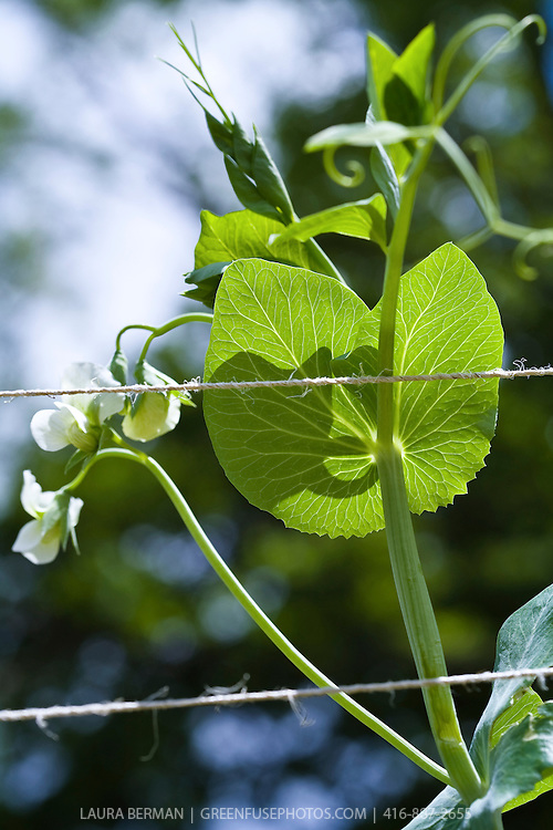 Stock photo of edible pea flowers in a vegetable garden.