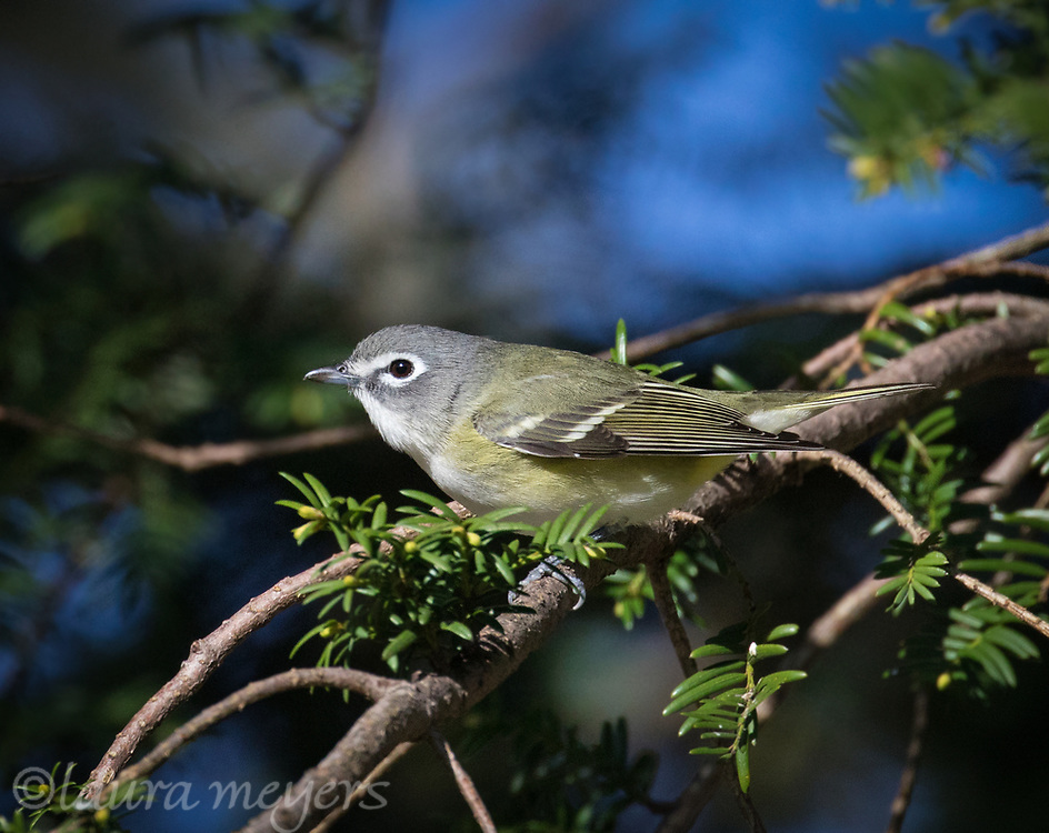 Blue-headed Vireo on branch with dark background photographed at Green-wood Cemetery in Brooklyn, New York.