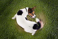 Jack Russell terrier chasing tail view from above