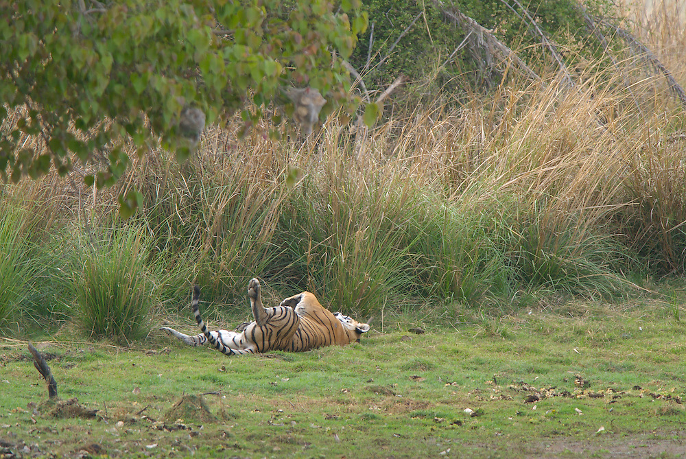 Machali, a wild tigress, resting in the shade in India's Ranthambhore National Park