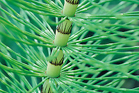 Horsetail Stem close up (Equisetum)