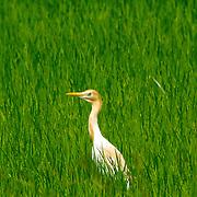 Cattle Egret, Buhulcus ihis