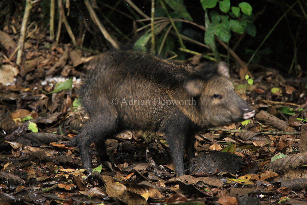 Collared Peccary (Tayassu tajacu) shaking itself dry in rainforest. La Selva Biological Station, Costa Rica. <br />