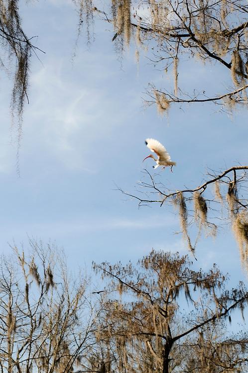 Ein Ibis in Wakulla Springs,Florida,USA, fliegt aufgeregt davon