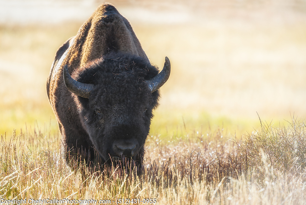 Bison in the morning light