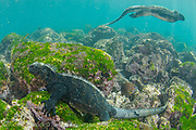 A Galapagos Marine Iguana, Amblyrhynchus cristatus, feeds on algae that covers the shallows of Isla Fernandina, Galapagos Islands, Ecuador.