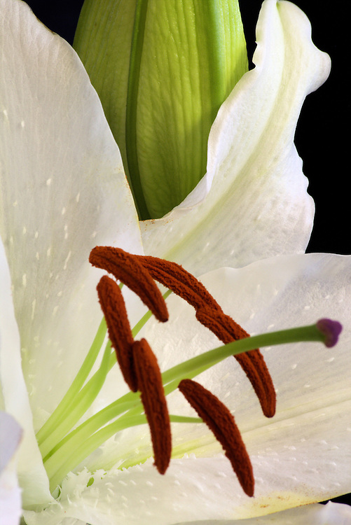 White Lilly macro