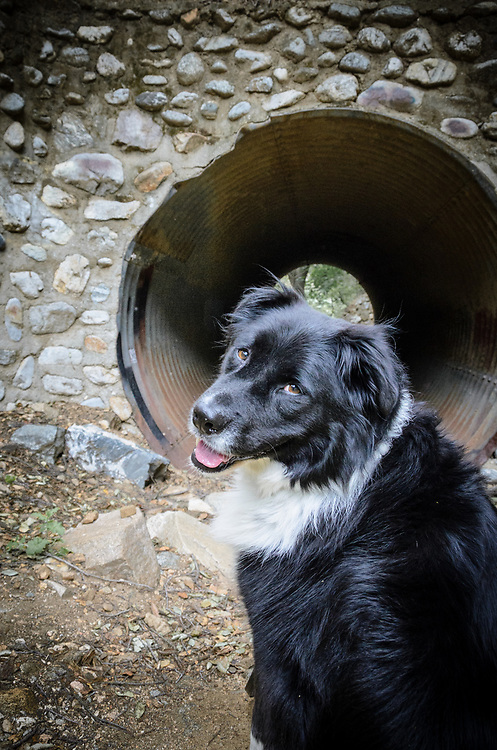 Border collie framed by a stone drain pipe.