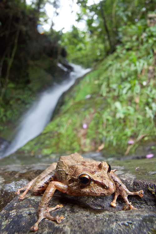 Robber frog, Pristimantis sp. near a stream in Sonson, Antioquia, Colombia